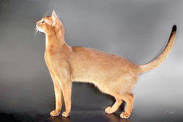 Абиссинская кішка, фото породи кішок фотографія кішки