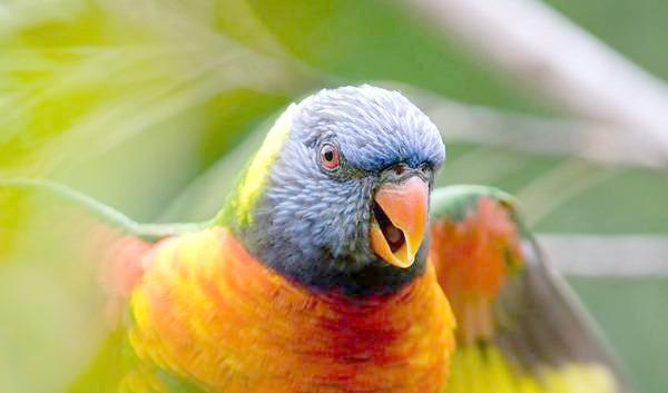 Райдужний, або багатобарвний лорикет (Trichoglossus haematodus), фото птиці фотографія картинка