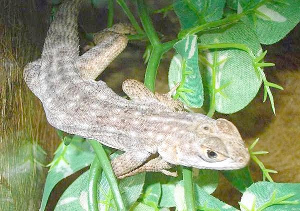 Смугаста мадагаскарська ігуана (Oplurus quadrimaculatus), фото рептилії, фотографія ящірки
