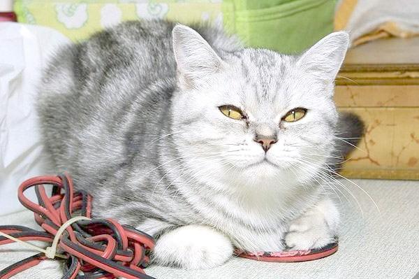 Американська короткошерста кішка, фото породи кішки фотографія картинка