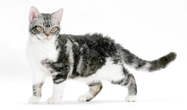 Американська жесткошерстная кішка - фото, про породу, вартість кошеня жесткошерстной кішки, як доглядати за жесткошерстной кішкою кішки