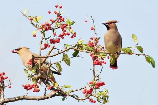 Амурський омелюхи (Bombycilla japonica), фото птиці фотографія