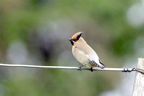 Японський омелюх (Bombycilla japonica), фото горобині птахи фотографія