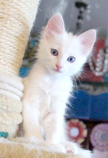 Кошеня турецької ангори, фото породи кішок фотографія картинка
