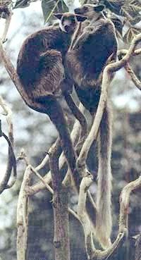 деревні кенгуру, фото, фотографія