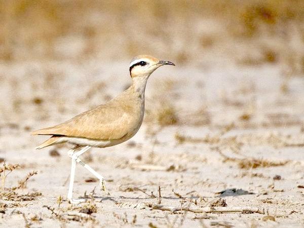 Бігунок (Cursorius cursor), фото сивки птиці фотографія