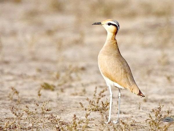 Бігунок (Cursorius cursor), фото птиці малюнок зображення