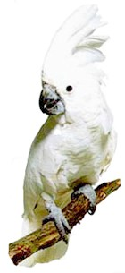 білий какаду, какаду білий (Cacatua alba)