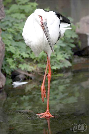 Білий журавель, або стерх (Grus leucogeranus), фото птиці фотографія