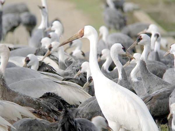Білий журавель, або стерх (Grus leucogeranus), фото Журавлеподібні птиці фотографія