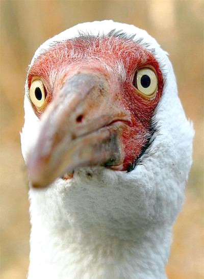 Білий журавель, або стерх (Grus leucogeranus), зображення птаха картинка фото