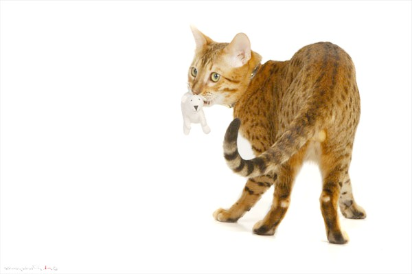 Бенгальська кішка, фото породи кішок фотографія