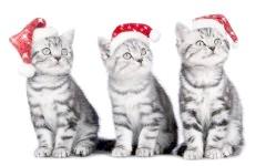 Три сірих кошеня, фото фотографія картинка шпалери
