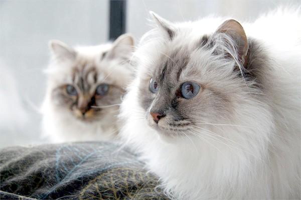 Бірманська кішка, священна бірма, фото породи кішок фотографія
