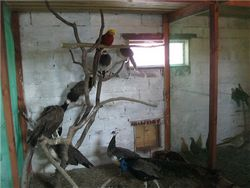 Хвороби фазанів і павичів