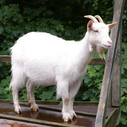 Хвороби кіз та їх лікування