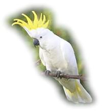 великий желтохохлий какаду (Cacatua galerita)