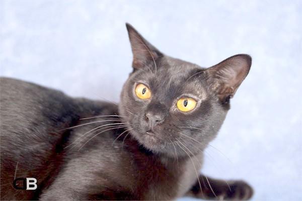 Бомбей, бомбейська кішка, фото породи кішок фотографія