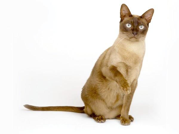 Бурманська кішка, бурма, фото породи кішок фотографія картинка