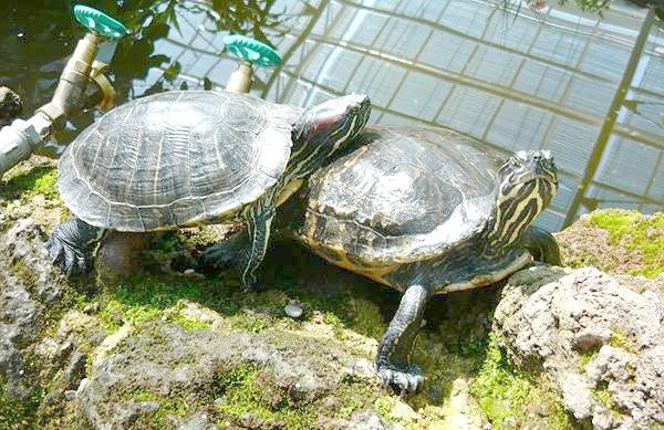 Червоновухі черепахи (Trachemys scripta), фото рептилії фотографія