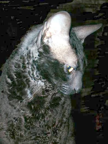 Чорний корниш рекс, фото кішки прикмети забобони фотографія