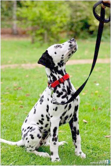 Далматин, далматинець, фото породи собак фотографія