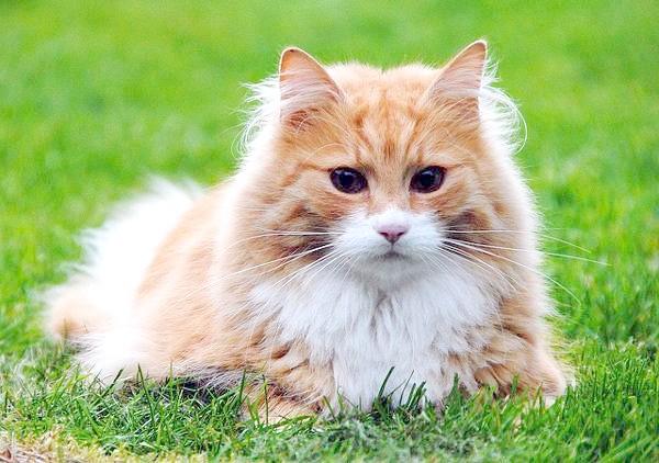 Довгошерста кішка, кішки фото породи кішок фотографія