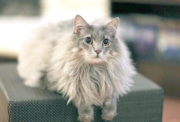 Довгошерста кішка, породи кішок фото картинка фотографія кішки