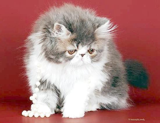 Перська кошеня, фото породи кішок фотографія кішки