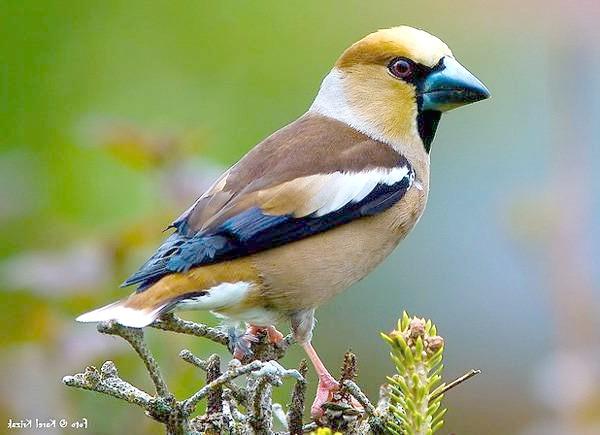 Дубоніс (Coccothraustes coccothraustes), фото птиці фотографія
