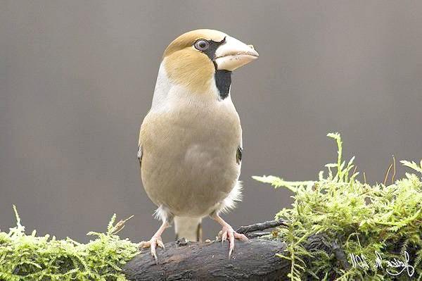 Дубоніс (Coccothraustes coccothraustes), фото в'юркові птиці зображення
