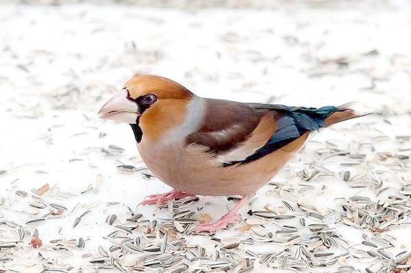Дубоніс (Coccothraustes coccothraustes), фото птиці зображення фотографія