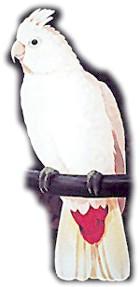 Какаду філіппінський (Cacatua haematuropygia)
