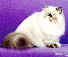 Гімалайська кішка, фото фотографія, породи кішок