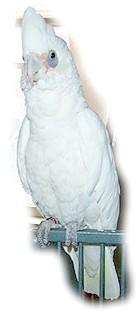 гологлаз какаду, какаду гологлаз (Cacatua sanguinea)