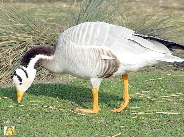 Гірський гусак (Eulabeia indica), фото качині птиці фотографія