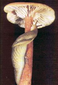 Група: pulmonata cuvier, 1817 = легеневі молюски, або равлики