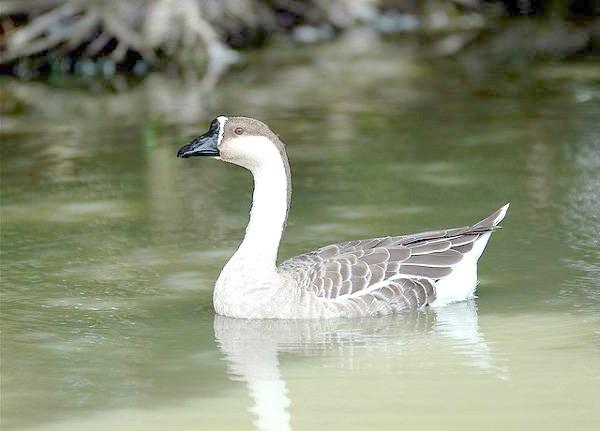 Гусь-сухонос (Anser cygnoides), фото качині птиці фотографія