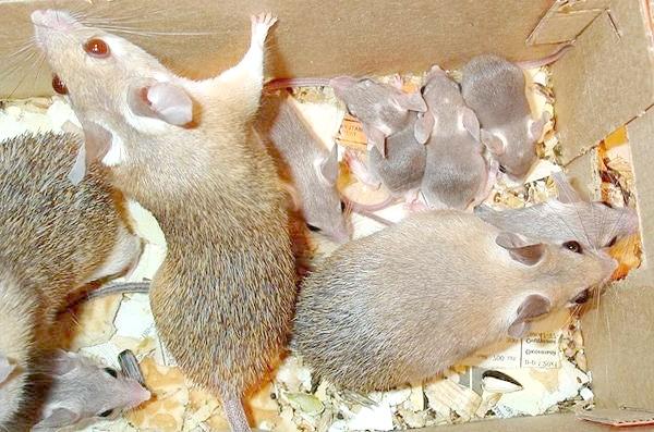 Голчаті миші (Acomys cahirinus) з потомством, фото гризуни фотографія