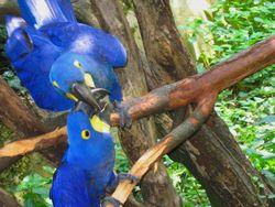 Ім'я для папуги ара. б - самці