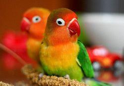 Ім'я для папуги. д - самки