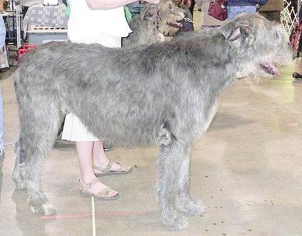 Ірландський вовкодав, фото породи собак фотографія