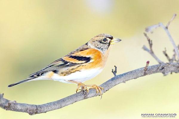 Юрок, або в'юрок (Fringilla montifringilla), фото птиці фотографія