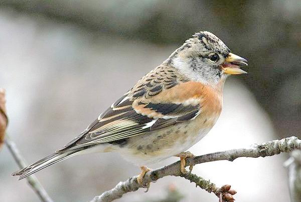 Юрок, або в'юрок (Fringilla montifringilla), фото в'юркові птиці картинка