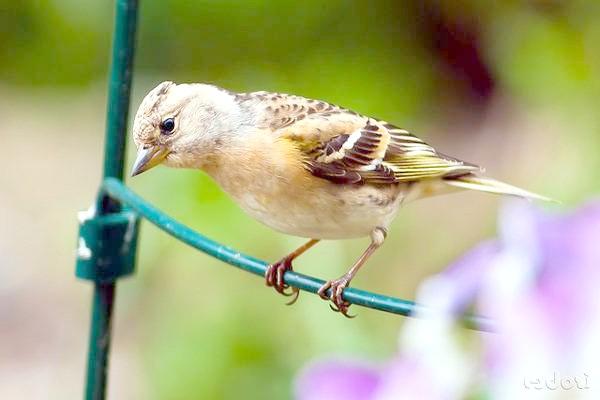 В'юрок (Fringilla montifringilla), фото горобині птахи зображення