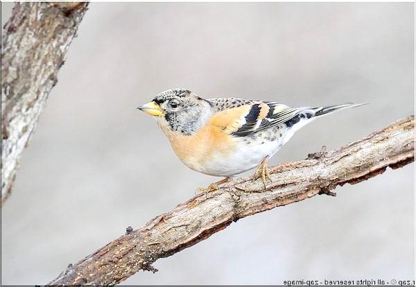 В'юрок (Fringilla montifringilla), фото види птахів фотографія