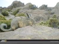 Південна віскача (Lagidium viscacia) фото, фото фотографія картинка шпалери