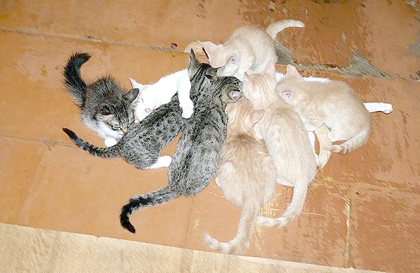Годує кішка і кошенята, фото вагітність кішки фотографія