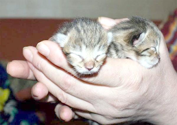 Сліпі кошенята манчкін, фото вагітність пологи кішки фотографія
