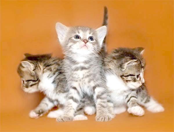 Кошенята, фото виховання кошенят картинка